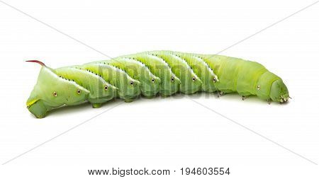 Tobacco Hornworm (Manduca sexta) isolated on a White Background