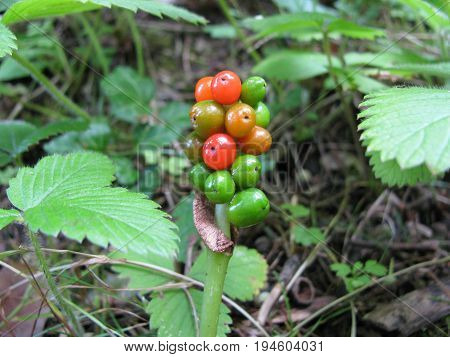 Arum, cuckoo pin, with poisonous red berries