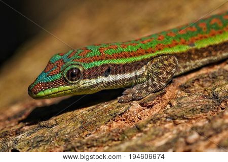Day gecko resting on bark of tree