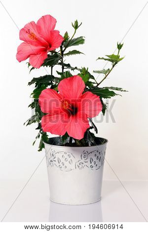 pot with hibiscus