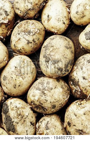 A lot of crude unwashed potatoes agrarian background space for text