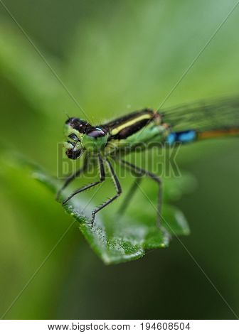 Macro shot of a green and turquoise damselfly