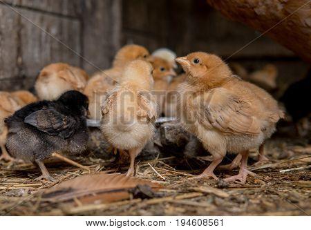 Colorfull Newborn Chickens