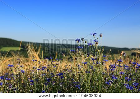 Blue cornflowers in the field, blue sky and mountains. Summer background.