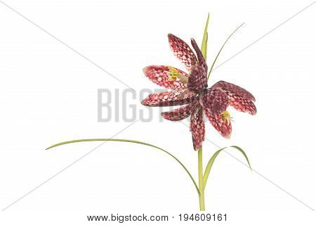 Fritillary flowers blooming isolated on a white background