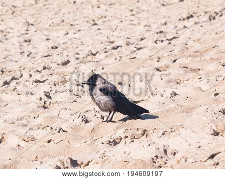 Hooded Crow Corvus Cornix close-up portrait at sea shoreline selective focus shallow DOF.