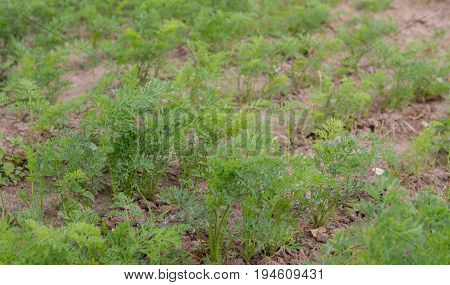 Carrot Growing On The Field