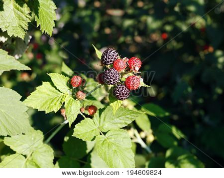 A bush of black raspberries in the garden. Ripe and not ripe berries in one bunch. Red and black berries on a prickly branch. Illuminated by the bright summer sun.