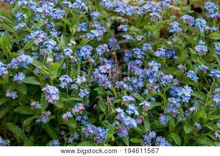 Blue Myosotis