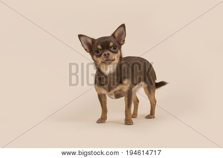 Chihuahua dog standing and looking at the camera on a creme background