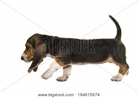 French basset puppy walking en sniffing around tracking with tail up and seen from the side isolated on a white background