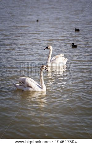 Swan family. Two swans in swan lakne with babies.