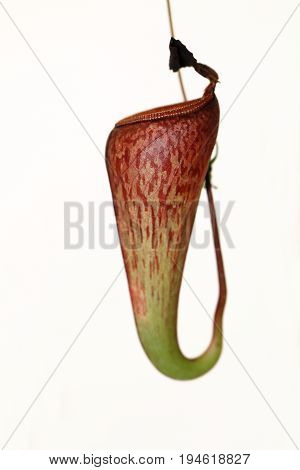 A Carnivorus Plant - Nepenthes Mirabilis Tenuis
