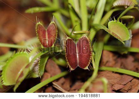 A Carnivorus Plant - Dionaea Muscipula