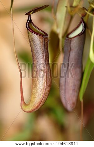 A Carnivorus Plant - Nepenthes Mirabilis