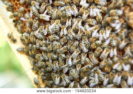 Close up shot of a bee swarm in apiary beekeeping insects swarming apiculture farming honey producing working concept.