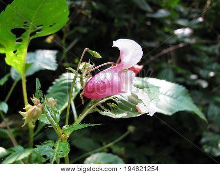 Policeman's Helmet with flower, Impatiens glandulifera, in forest