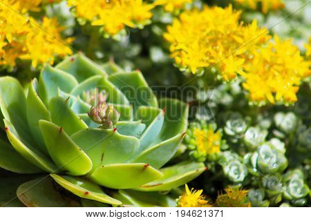 Echeveria in foreground with yellow flowering sedums