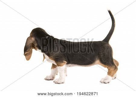 Basset artesien normand puppy seen from the back looking away with tail up on a white background