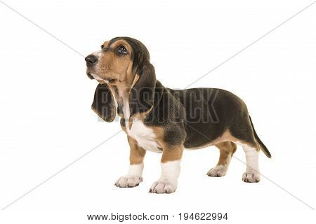 Standing basset artesien normand puppy seen from the side looking up isolated on a white background