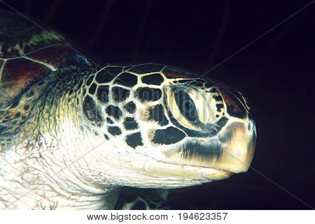 Green turtle, close-up of head