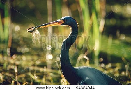 Tricolored Heron (Egretta tricolor) with dragonfly in beak