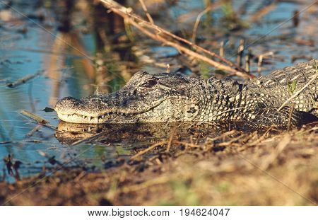 Alligator (Alligator mississippiensis) in swamp