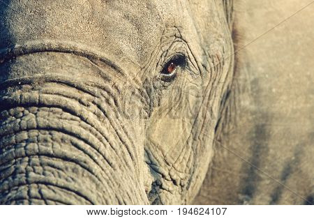Close-up of African Elephant (Loxodonta africana), selective focus