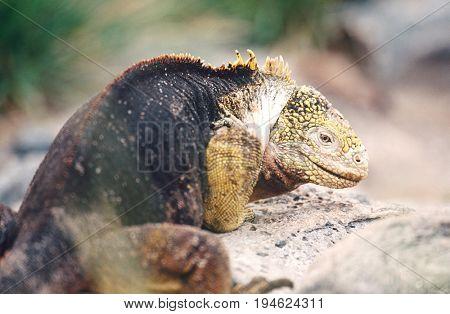 Ecuador, Galapagos Islands, Land Iguana resting on rock