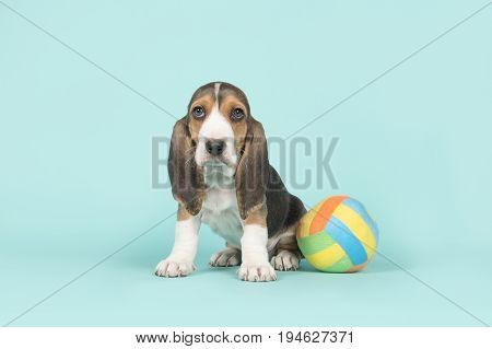 Cute sitting basset artesien normand puppy with a multi colored toy ball on a blue background