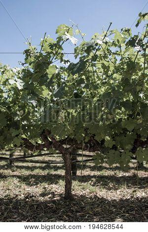 Grapevine plant in Napa Valley California USA
