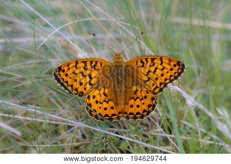 Dark Green Fritillary (argynnis Aglaja) Butterfly Resting On Grass