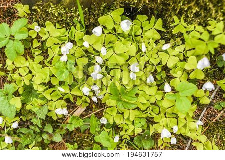 Oxalis acetosella blooming in garden spring time i Poland.