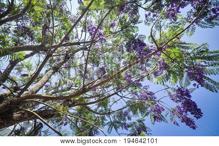 Jacaranda Mimosifolia Flowers