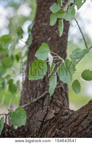 Branch With Leaves Of Aspen (populus Tremula).