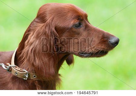 portrait of Irish setter on blurred background