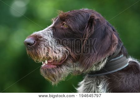 portrait of german wirehaired pointer on green blurred background
