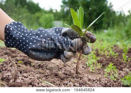 hand of gardener with weed in the vegetable garden