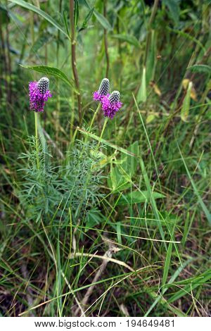 Purple prairie clover (Dalea purpurea) blooms in Plainfield, Illinois during June.