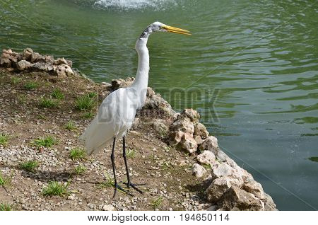 white egret at the pond hunting for fish. Fauna of the Dominican Republic.