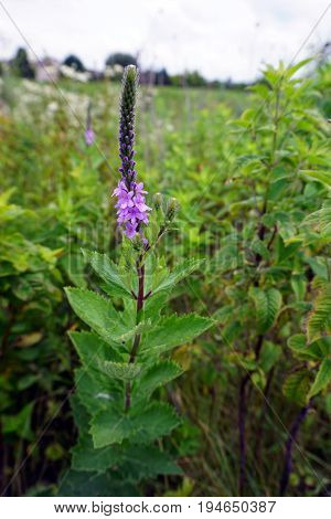 Hoary vervain (Verbena stricta) blooms in Plainfield, Illinois during June.