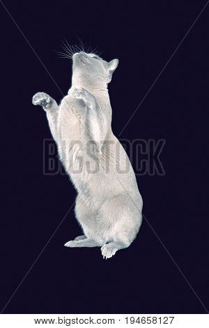 Blue Burmese cat standing on hind legs against black background