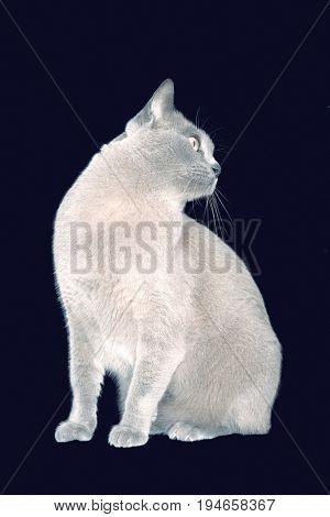 Blue Burmese cat looking to side against black background