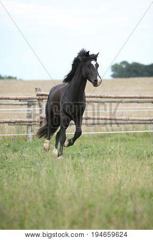 Amazing Black Stallion Running On Pasturage