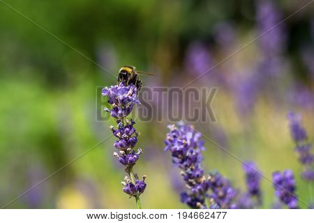 Single Bumble Bee On Lilac Flower In Summer