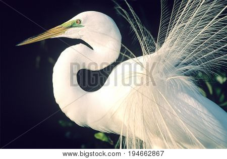White Egret close-up