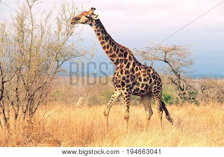 Maasai Giraffe (Giraffa Camelopardalus) on savannah