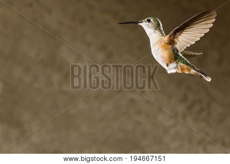 An image of a femal broad-tailed hummingbird hovering in flight with motion of wings frozen and very detailed feathers against an out-of-focus background