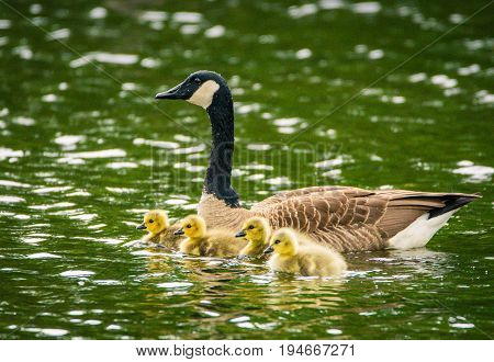 An adult female Canada Goose swims with four young yellow goslings on a rainy day.