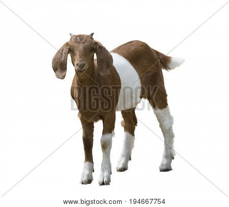 Young boer goat isolated on white background